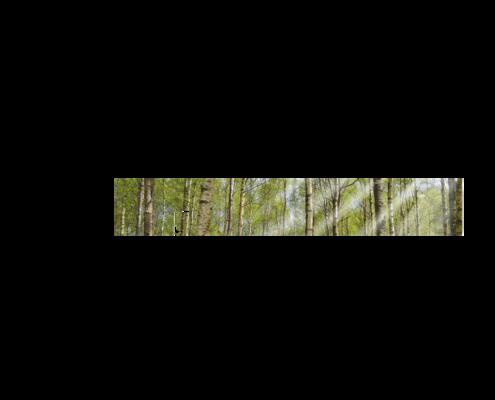 Küche-Echtglas-Rueckwand-Birkenwald-Nummer2